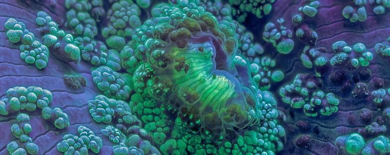 Скриениот микросвет на коралите