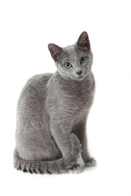 Руска сина мачка