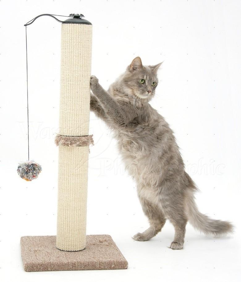 Maine Coon female cat, Serafin, using a scratch post
