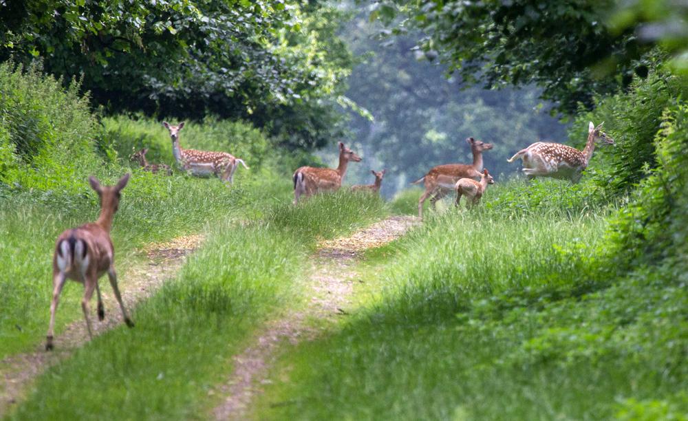 Запознајте го одблизу еленот лопатар